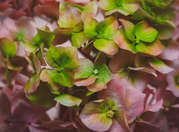 L'ortensia verde e rosa sbocciante fiorisce la struttura, vista alta vicina