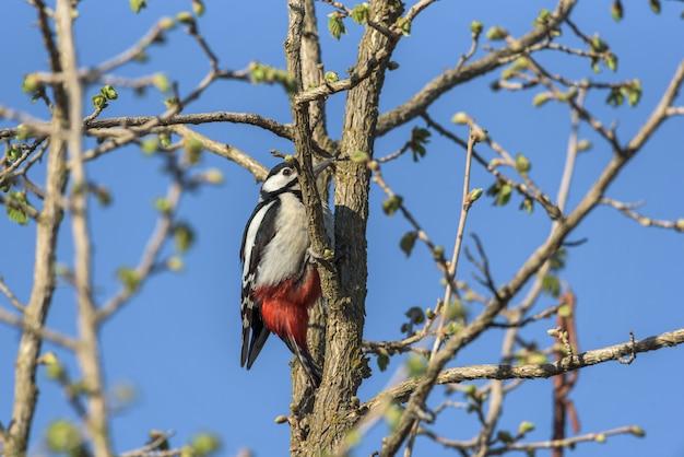 L'uccello di picaco si è appollaiato sul tronco di un albero