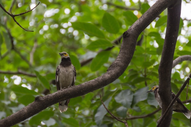 L'uccello (starling dal collare nero, nigricollis dello sturnus) si è appollaiato su un albero nel giardino