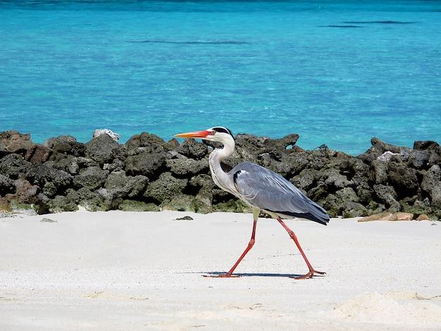 L'uccello sulle maldive, oceano indiano
