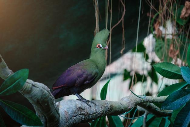 L'uccello verde del turaco in parco verde