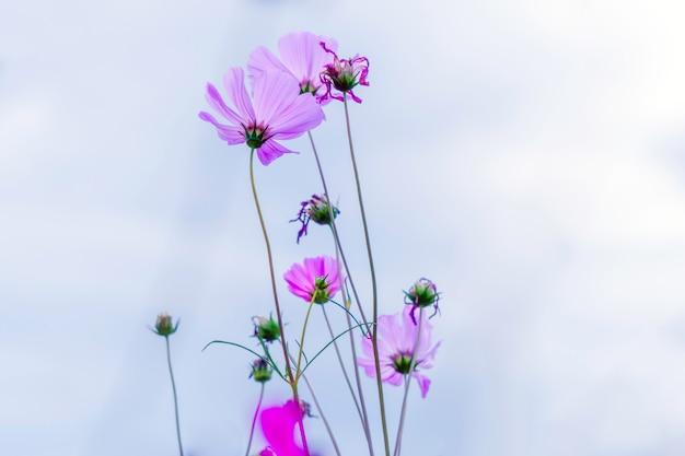 L'universo dolce viola fiorisce nel cielo