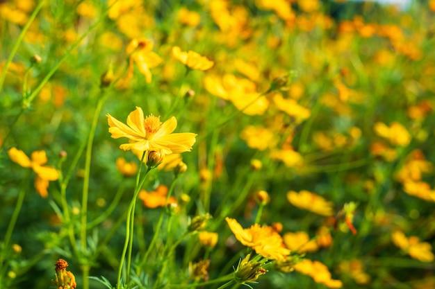 L'universo giallo dello zolfo fiorisce nel giardino della natura.