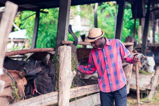 L'uomo africano del coltivatore sta stando nel suo luogo di lavoro vicino alle mucche alla fattoria