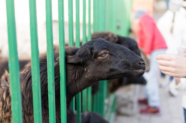 L'uomo alimenta una capra in uno zoo