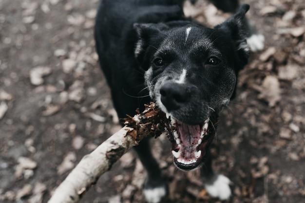 L'uomo si difende dall'attacco di un cane malvagio con un bastone. l'animale attacca l'uomo e cerca di mordere.
