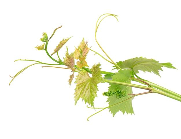 L'uva lascia il ramo della vite con i viticci, isolato, percorso di ritaglio incluso. ramo verde della vite