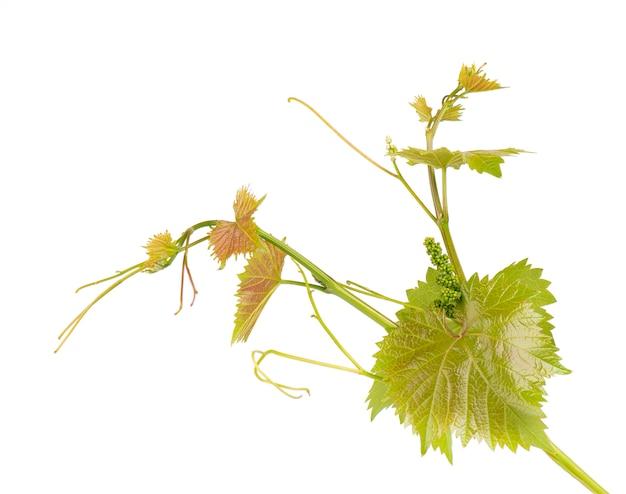 L'uva lascia il ramo della vite con la pianta tropicale dei viticci isolata su bianco, percorso di ritaglio
