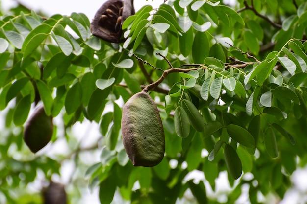 L'xilocarpa di afzelia è un albero del sud-est asiatico. foresta naturale