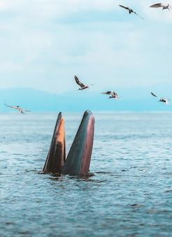 La balena di bryde, la balena dell'eden, mangiando pesce nel golfo della tailandia