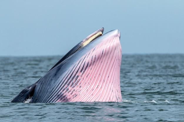 La balena di bryde nuota nel mare tailandese