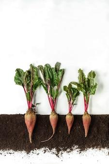 La barbabietola rossa cresce nel terreno, sezione trasversale, collage di ritaglio. pianta crescente con foglie isolate. agricoltura, botanica e concetto di agricoltura