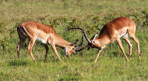 La battaglia per l'impala femminile. kenya, africa