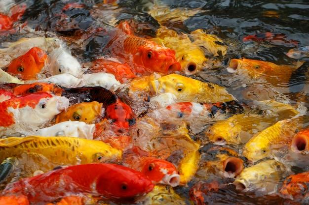 La bella carpa di fantasia o il pesce di koi stanno nuotando nello stagno