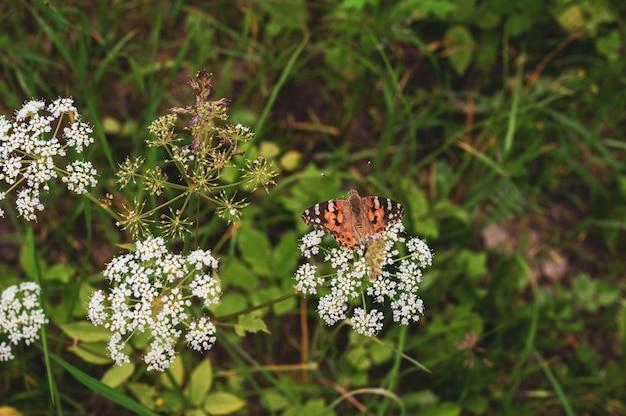 La bella farfalla si siede su piccoli fiori bianchi