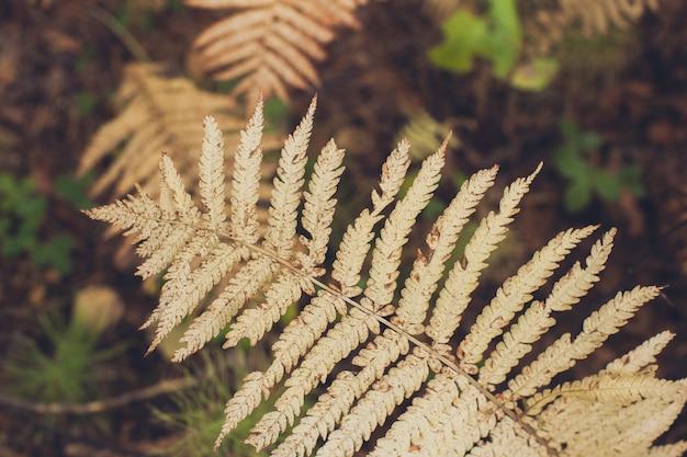 La bella felce lascia, la felce di autunno gialla lascia il primo piano. floreale naturale