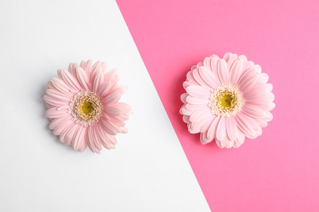 La bella gerbera fiorisce su un fondo di due toni, spazio per testo