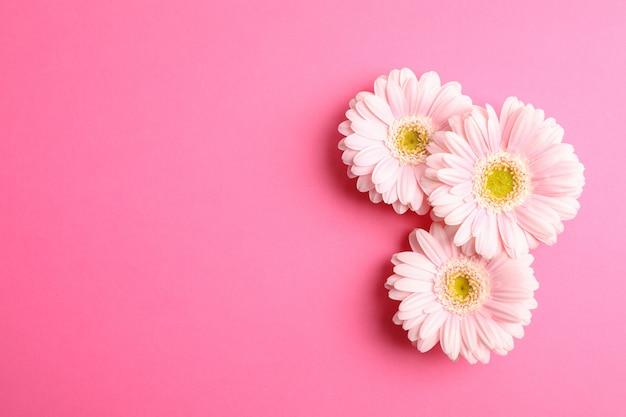 La bella gerbera fiorisce sul fondo di colore, spazio per testo
