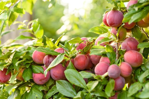 La bella prugna rossa matura fruttifica su un ramo di albero
