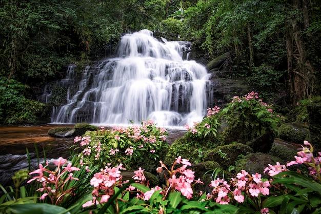 La cascata di mundang e la bocca di leone fioriscono al parco nazionale di phuhinrongkla in phitsanulok. orchidea selvaggia di hance rhodocheila di pink habenaria alla cascata in phitsanulok, tailandia