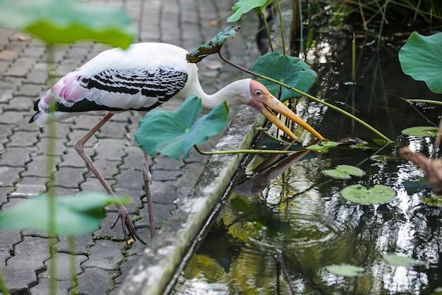 La cicogna lattea è una cicogna piumata media, quasi completamente bianca, in mangrovie d'acqua dolce
