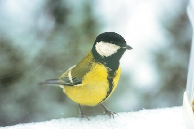 La cinciarella si siede su un davanzale in primo piano dell'inverno.