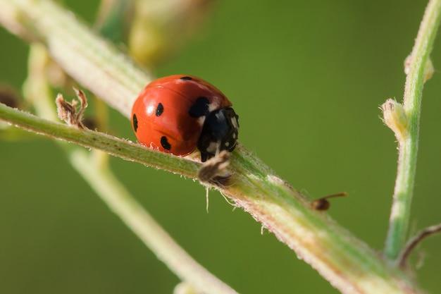 La coccinella sull'albero è classificata come uno scarabeo invertebrato