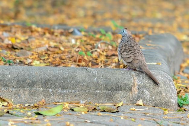 La colomba macchiata o (spilopelia chinensis) o colombaia di montagna o colomba col collo di perle