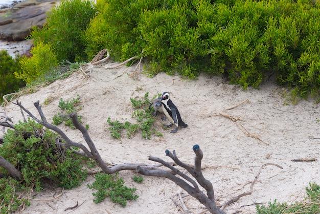 La colonia di pinguini africani sulla penisola del capo a boulders beach