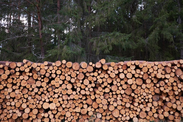 La deforestazione. ceppi di legno di legno di pino nella foresta.