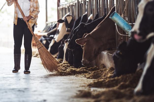 La donna del coltivatore sta alimentando le mucche. mucca che mangia erba