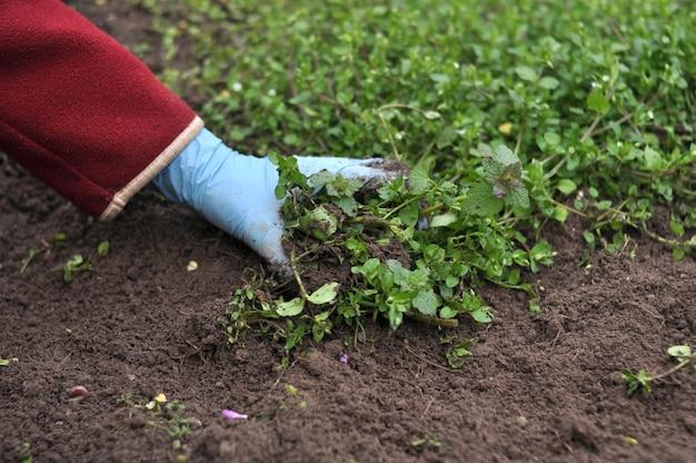La donna rimuove i lividi dal giardino con le mani.