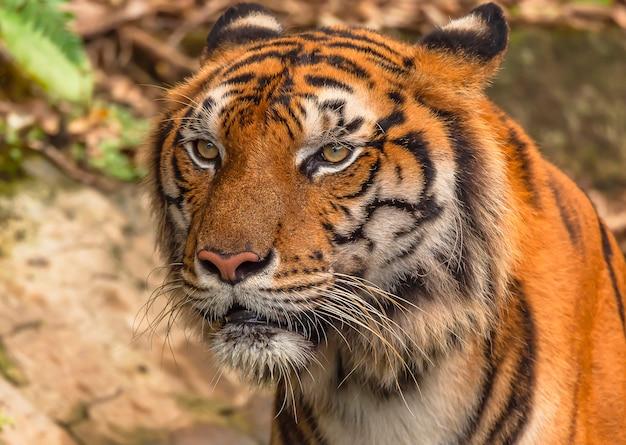 La faccia da vicino della tigre