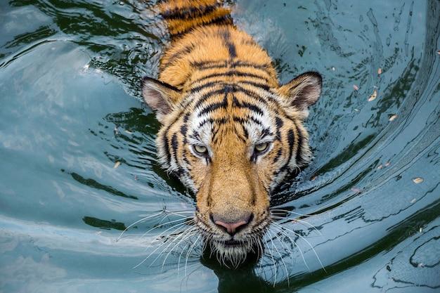 La faccia della tigre asiatica stava nuotando nell'acqua del lago.