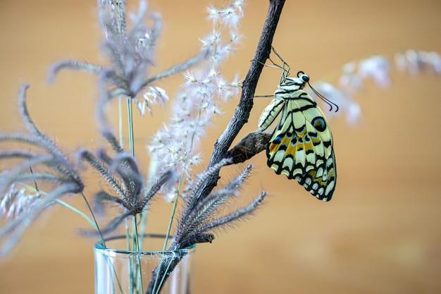 La farfalla di lime o la farfalla di papilio demoleus stanno lasciando il bruco.