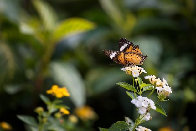La farfalla di monarca mangia sul fiore bianco
