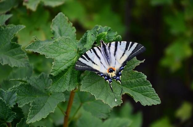 La farfalla europea rara del podalirius di coda di rondine di iphiclides è seduta sui cespugli dei lamponi sboccianti