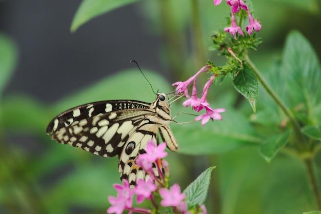 La farfalla lime sta succhiando il nettare, il polline in natura.