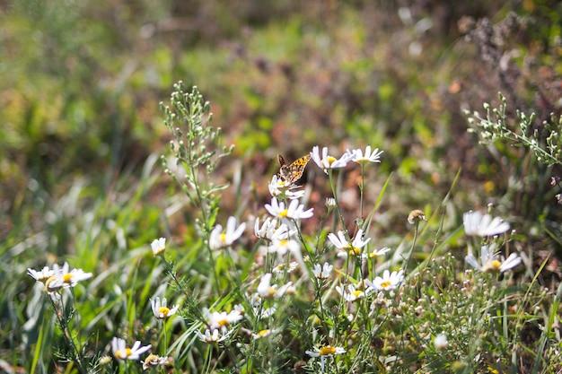La farfalla si siede su un fiore. fiore di camomilla primavera.