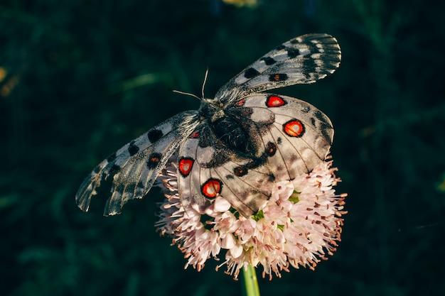 La farfalla si siede su un trifoglio. ala ferita.