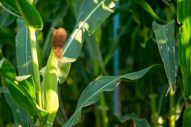 La farina di mais non è stata ancora raccolta. sembra ancora verde e rinfrescante.