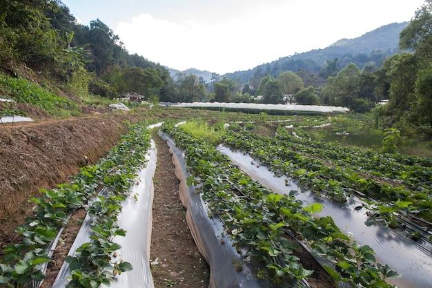 La fattoria di stawberry usa l'agricoltura di plastica sul formato quadrato