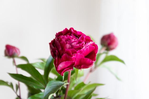 La fine delle peonie rosse fiorisce in un vaso di vetro su fondo vago bianco
