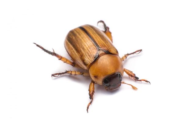 La fine in su può scarabeo o rizotrogo isolato su bianco