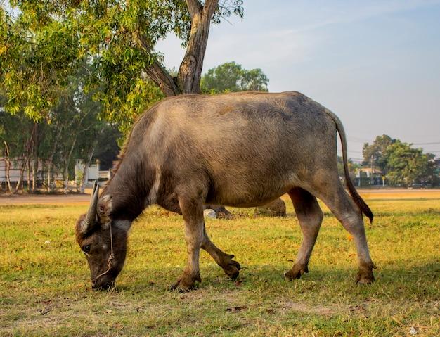 La fine su di giovane bufalo sta camminando e mangiando l'erba nel cortile.