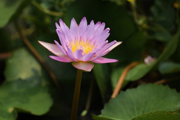 La fine sul fiore di loto il colore giallo e porpora è così bello