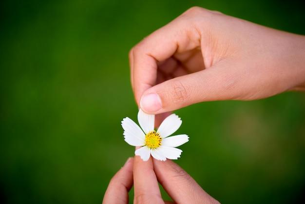 La fine sulla mano della donna lacera i petali del fiore della margherita