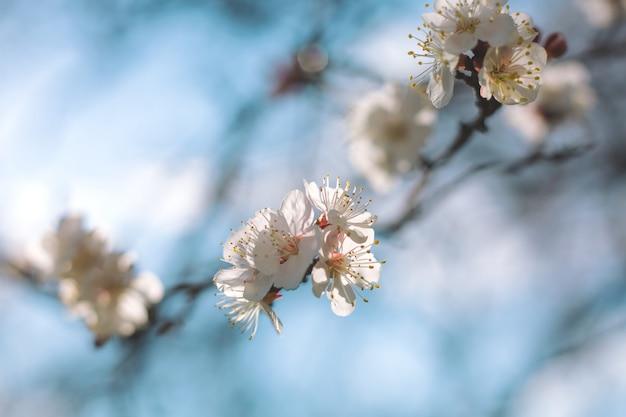 La fioritura della ciliegia fiorisce nel tempo di primavera contro il cielo blu
