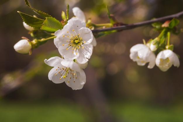 La fioritura della ciliegia o della prugna fiorisce nel tempo di primavera con le foglie verdi, macro.