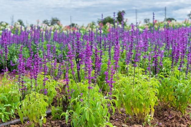 La fioritura e la messa a fuoco selettiva di lavanda stanno crescendo in campo.